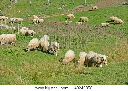 Sheep farm, green field on the hill, pattern of animal wildlife in Bromont Quebec Canada