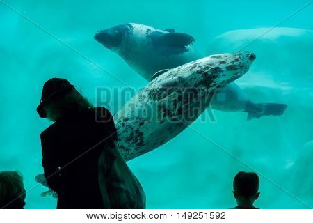 BIARRITZ, FRANCE - JUNE 27, 2016: Visitors observing as the grey seals (Halichoerus grypus), also known as the Atlantic seals swim in the Biarritz Aquarium in Biarritz, France.