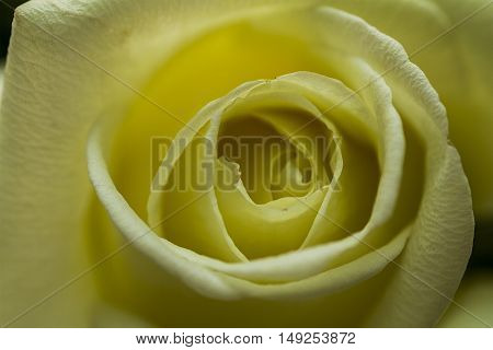 Yellow Rose in a macro shot up close