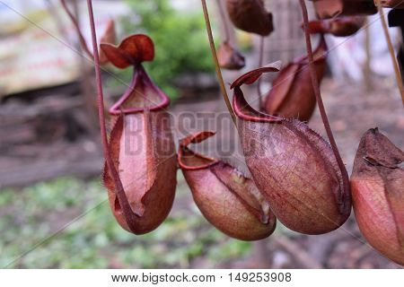 many beautiful pitcher of carnivorous plant Nepenthes