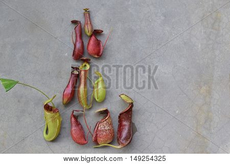 Beautiful pitcher carnivorous plant Nepenthes in ground