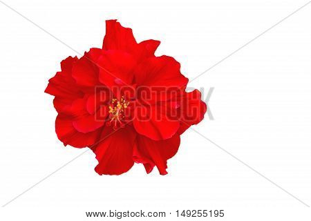 Macro of red China Rose flower (Chinese hibiscus Hibiscus rosa-sinensis Hawaiian hibiscus shoe flower ) isolated on white background.Saved with clipping path