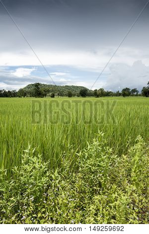 Paddy Fields Showing Nearly Mature Rice, With Dramatic Tropical Storm Clouds In Background.