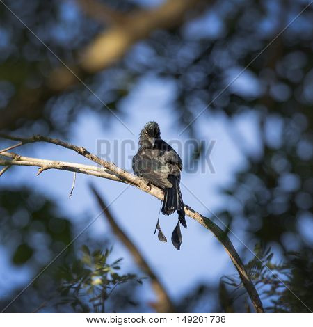 Image of Greater Racket-tailed Drongo perched on tree branch. in forest Thailand.
