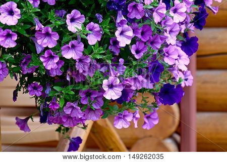 Hanging purple flowers on a wooden porch. Little garden at the porch of vacation cabin in Alberta. Canada.