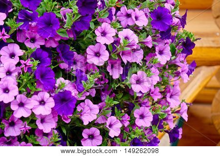Petunia flowers in full bloom. Little garden at the porch of vacation cabin in Alberta. Canada.