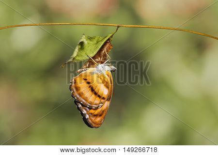 Colour Segeant Butterfly Hanging On Chrysalis After Emerged