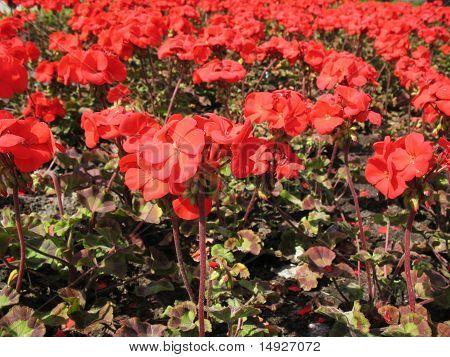 Zonal Pelargonium (Pelargonium zonale) Geranium family