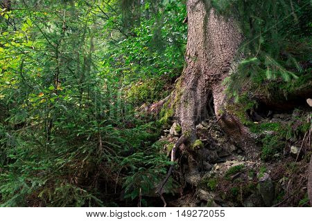 Old tree with crooked roots in the coniferous forest close up