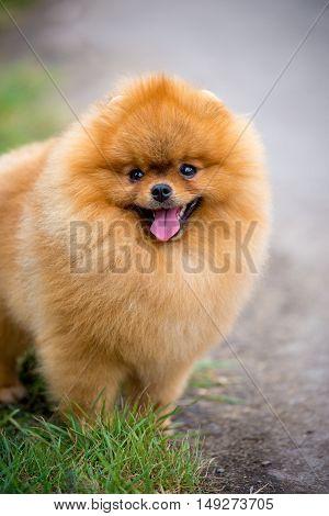 Portrait of cute pomeranian spitz dog on grass