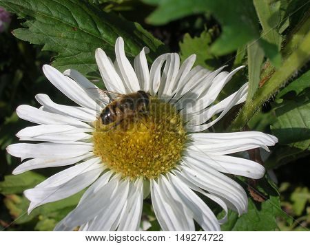 daisy, bee, white, yellow, brown, insect, grass, nectar, stinging