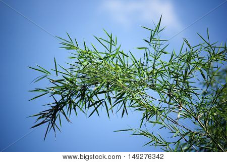 Clouse up of Green leaf bamboo tree with blue sky background