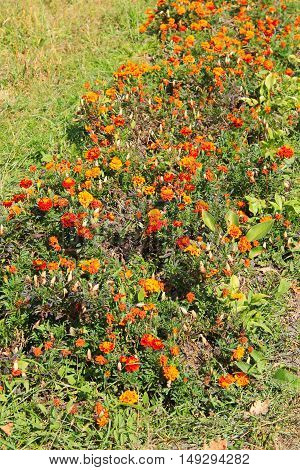 Flowerbed with orange marigolds in a park