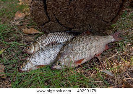 Three Common Roach Fish On Green Grass. Catching Freshwater Fish On Natural Background.