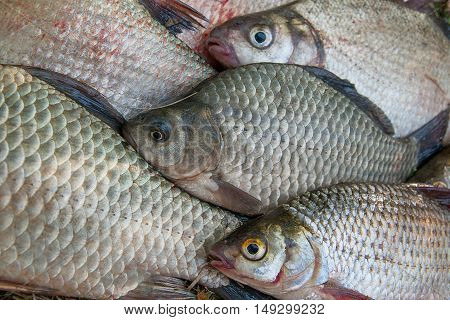 Close Up View Of The Pile Of The Common Bream Fish, Crucian Fish Or Carassius, Roach Fish On The Nat