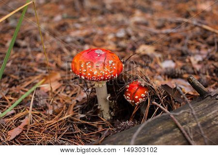 two red mushroom amanita in the pine needles