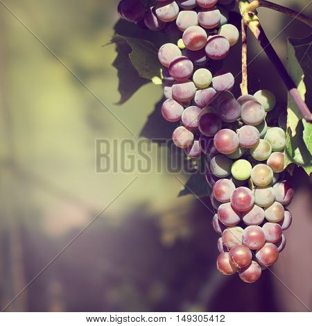 Grape basking in the sun in the gardens / nearing harvest gathering of berries