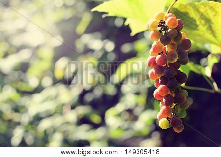 bunch of grapes hanging on the vine in autumn day / solar appetizing berries