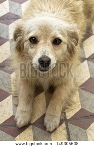 Portrait of a cute yellow dog looking at the camera.