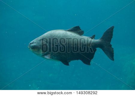 Tambaqui (Colossoma macropomum), also known as the giant pacu. Wildlife animal.