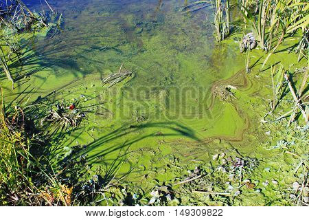 Green algae on the surface of water