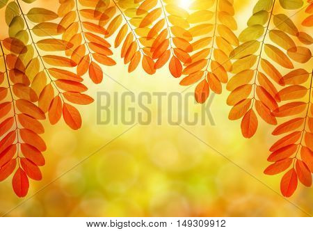 Colorful autumn leaves of Acacia or Black Locust on natural blurred background.