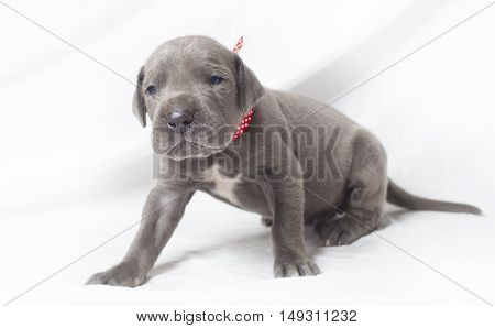 Purebred grey Great Dane puppy that is wondering what the camera is doing