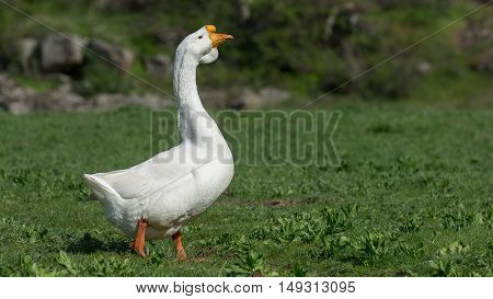 White Goose walks on the green grass