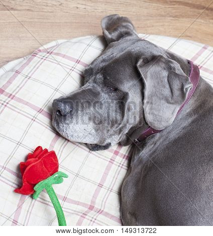 Female Great Dane purebred asleep on a pillow with a rose