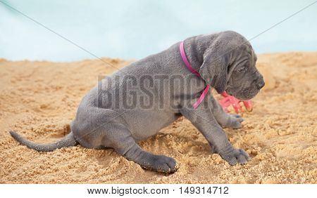 Purebred Great Dane puppy that looks ready to play on the sand