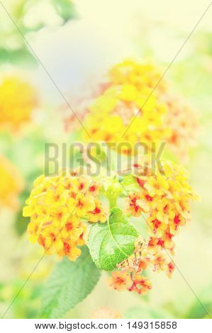 flower Lantana, Wild sage Cloth of gold, flower in the morning vintage style
