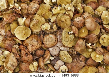 background suillus mushroom forest yellow food nature.