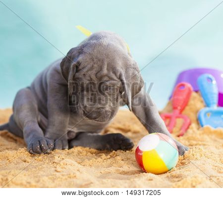 Great Dane puppy with a ball and no one to play with