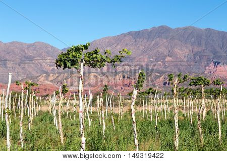 Beautiful vineyard with mountains in the background in Cafayate Region in Argentina