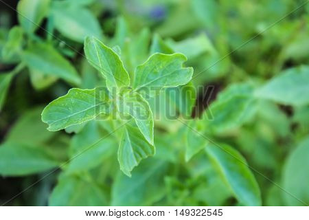 Basil (Ocimum sanctum). Closeup of thai holy basil plants holy basil organic vegetable acreage herb of thailand