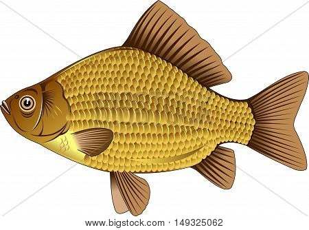 gold crucian. Editable vector illustration isolated on white background