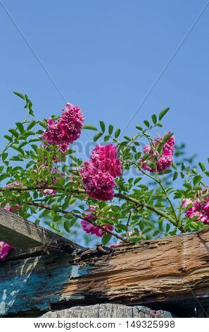 Pink climbing rose on blue sky background
