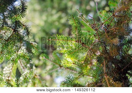 Frame of green fir-tree twigs and background of the blue cloudless sky