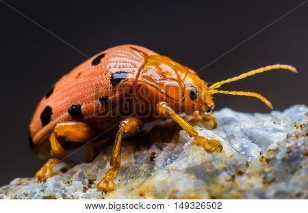 scarab orange beetles on stone floor on black background