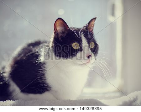 The black-and-white domestic cat sits at a window in sunshine.