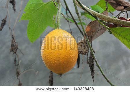 Gac fruit is ripe on the tree. Gac is high in anti-oxidants. Enhance the body immunity