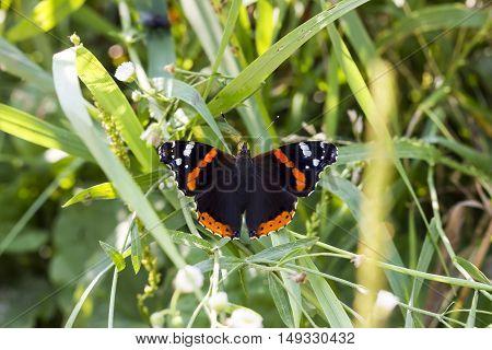 Красивая бабочка адмирал в траве солнечным утром