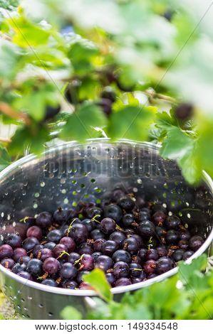 Black Gooseberries freshly picked from the bush in a stainless steel colander. Summer fruit harvest.