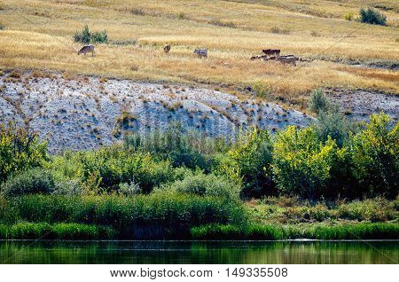 Bank of the Don river in the Donskoi National Park with cows graze on the chalk hills. Green grass on other side of river. Beautiful landscape lit by sun. Volgograd region, Russia.