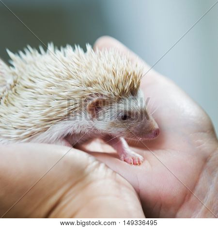nice and cute sleepy African pygmy hedgehog rolled up in his hand at his breeder cuddling and socializing