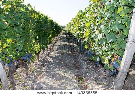 Hills Covered With Vineyards In The Wine Region