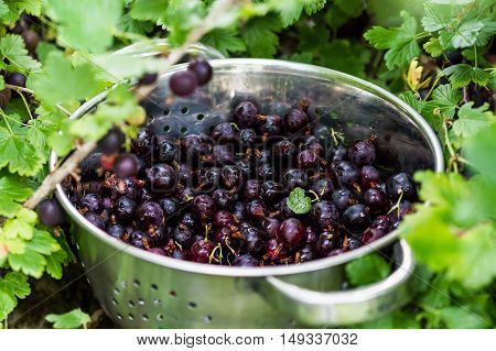 Black Gooseberries freshly picked from the bush in a stainless steel colander. Summer fruit harvest. Close up.