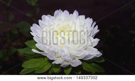 Autumn flowers. Beautiful White Aster flower, Callistephus chinensis