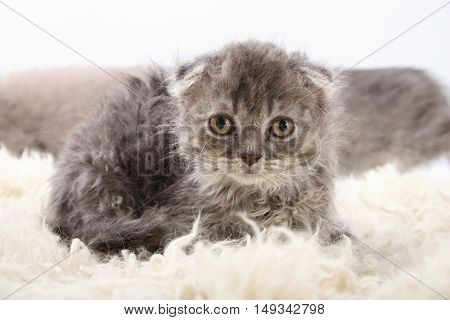 Gray Lop-eared Amusing Kitten On A White Background.