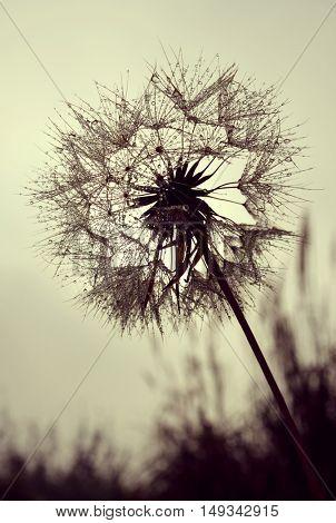 Dew drops on a dandelion flower closeup
